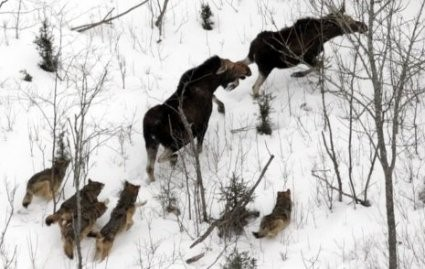 wolf take down a moose